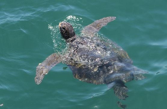 Una tortuga marina que habita en el Mar Pacífico Tropical peruano. Esta especie también esta amenazada por la pesca ilegal. Foto cortesía de SERNANP.