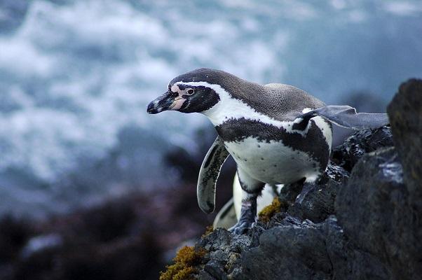 Un pingüino de Humboldt en el Mar Pacífico Tropical. Foto cortesía de SERNANP.
