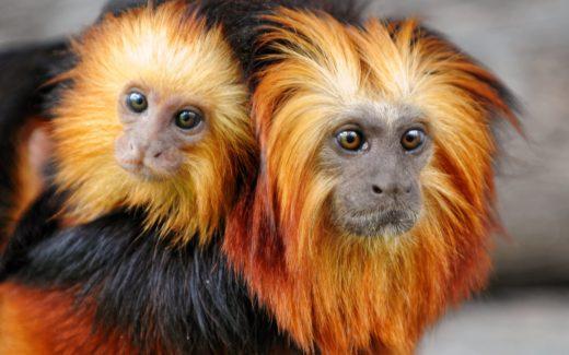 El mono león dorado tití es una de las especies amenazadas que puede perder su hábitat en caso el cambio climático termine de destruir su hábitat en Brasil. (Fotografía: Youtube)