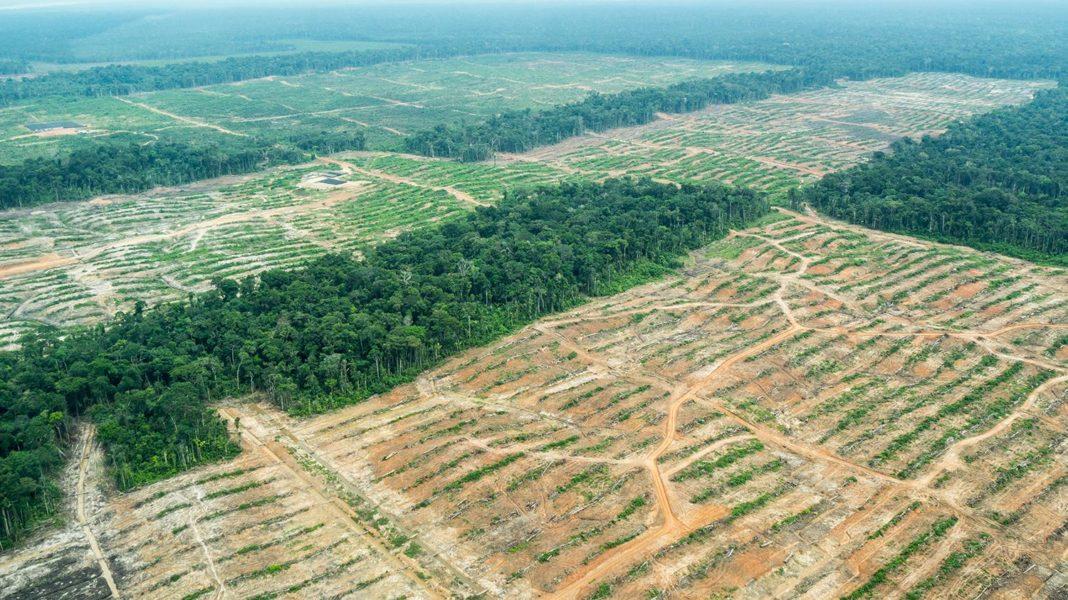 Las empresas de Dennis Melka han talado más de 11 mil hectáreas de bosque, incluido una gran cantidad de bosque primario. Melka tiene 25 empresas registradas en Perú, 3 de las cuales están activas, según EIA. (Fotografía: EIA)