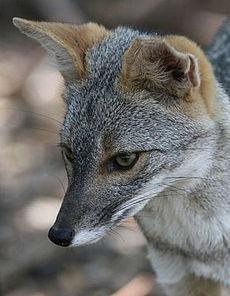 El zorro andino también es una especie amenazada que fue hallada durante el BioBlitz peruano. (Fotografía: Wikipedia)