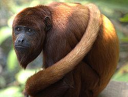 El mono aullador es una de las especies protegidas por la nueva área de conservación privada en la provincia de Huancabamba. (Fotografía: Wikipedia)