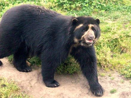 El oso de anteojos es una de las especies en vía de extinción que habita en el Parque Nacional de Huascarán. (Fotografía: Wikipedia)