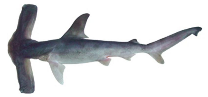 Los tiburones ballena han sido clasificados como En Peligro en la Lista Roja de la UICN. Foto de Zac Wolf, De Wikipedia, CC BY-SA 2.5.