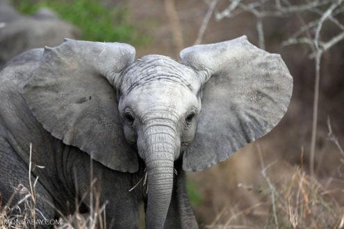Elefante bebé en África del Sur. La Fundación Dicaprio ha invertido millones en la protección de los elefantes en África y Asia. Foto de Rhett Butler.