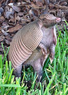 La carachupa gigante conocida como armadillo. Fotografía: Wikipedia.