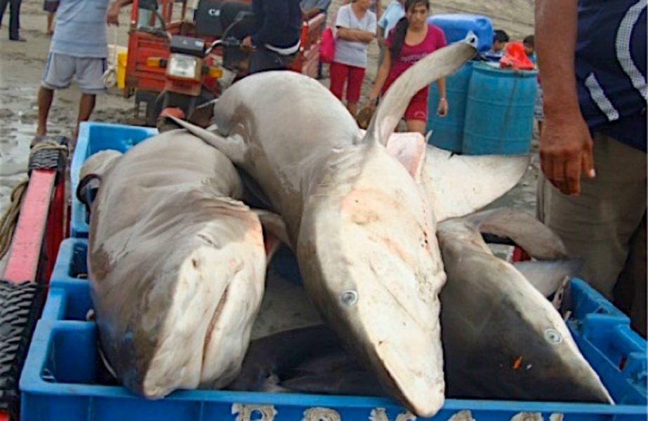 Tiburones cazados en la caleta San José. Fotografía: Adriana González-Pestana.