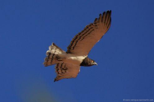 Águila de pecho negro. Fotografía de rodriguezmartin.com