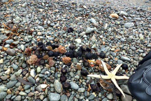 Las especies afectadas por la contaminación fueron moluscos como la estrella de mar, erizos, entre otros. Fotografía de la Municipalidad Provincial de Ilo.