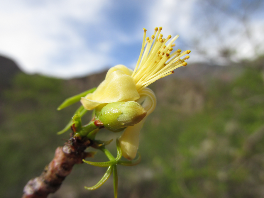 Eriotheca vargasii, árbol endémico y característico de los bosques secos del sistema Lpurimac. Foto: Reynaldo Linares.