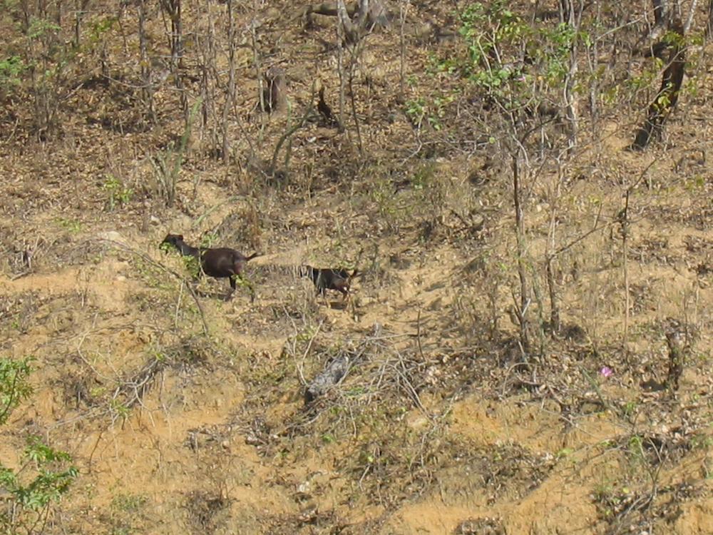 La ganadería es una de las principales actividades que atentan contra la existencia de los bosques secos andinos de Perú. Foto: Reynaldo Linares.