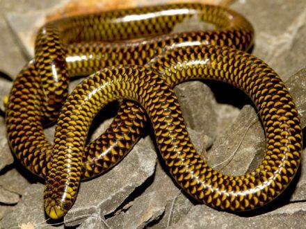 Epictia venegasi mide alrededor de 17 centímetros. Foto de Roy Santa Cruz.