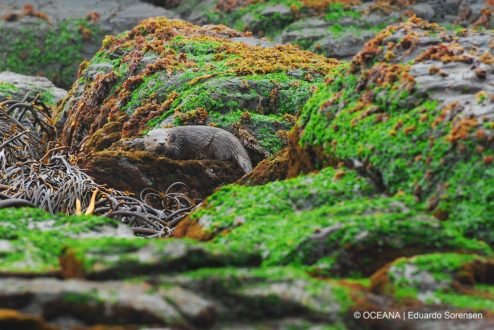 El chungungo (Lontra felina) es una de las especies protegidas en la Reserva Nacional Pingüino de Humboldt. Foto: © OCEANA | Eduardo Sorensen