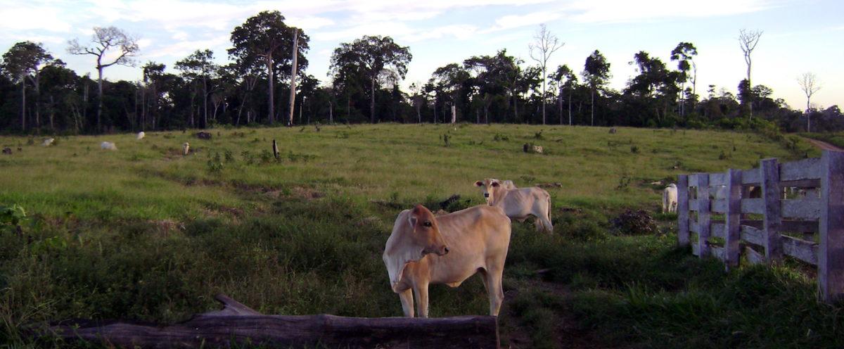 La actividad ganadera es una de las principales causas de deforestación en el norte de la Amazonía boliviana. Foto: Marco Pastor.