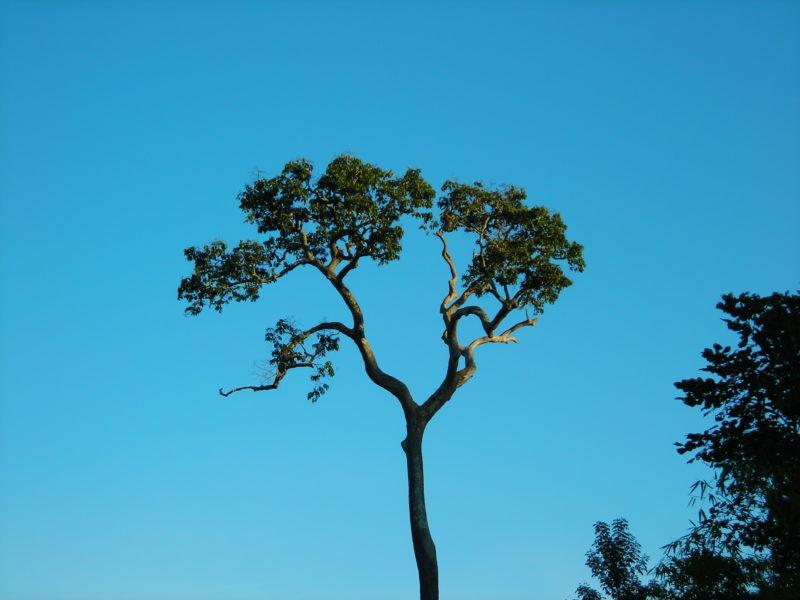 Los árboles de castaña son muy vulnerables y aún no existe un plan de reforestación para conservar la población de esta preciada especie. Foto: Marco Pastor.