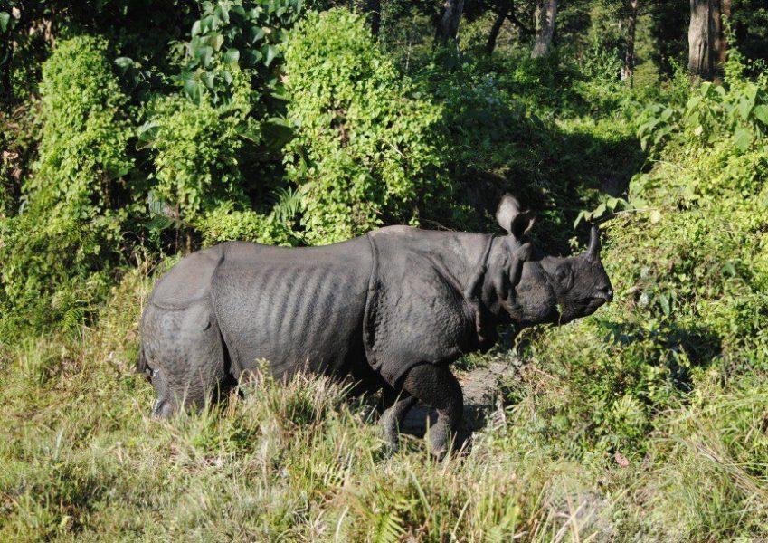 Los Rinocerontes Unicornio Índico se encuentran en tres estados de la India: Assam, West Bengal, Uttar Pradesh. Foto de Shreya Dasgupta.