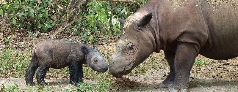 Rinocerontes de Sumatra hembra con su bebé en el santuario de Lampung, Sumatra. Foto cortesía de la International Rhino Foundation