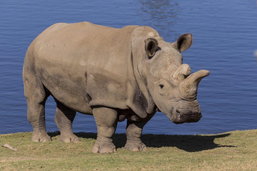 Nola, de 41 años, fue un Rinoceronte Blanco del Norte hembra. La eutanizaron en noviembre del 2015 porque su salud se había deteriorado. Foto cortesía del San Diego Zoo Safari Park.