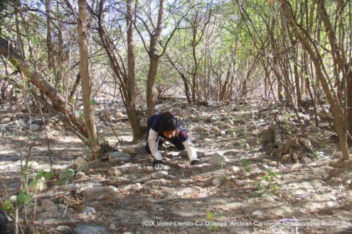 El equipo liderado por Velez-Liendo coloca cámaras trampa en puntos estratégicos para fotografiar a los animales a su paso por el lugar. Foto de X. Velez -Liendo-CJ. Quiroga. Andean Carnivore Conservation Initiative.