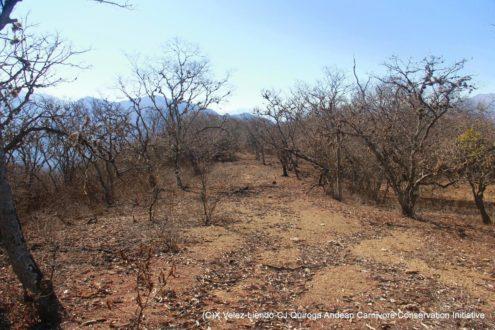 El bosque seco de Bolivia es un lugar donde la comida escasea por completo durante tres meses, lo que obliga a los pumas y osos andinos a buscar alimentos cerca de los emplazamientos humanos. Foto de X. Velez-Liendo-CJ. Quiroga. Andean Carnivore Conservation Initiative.