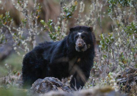 Los osos andinos tienen hábitos diurnos y no hibernan como sus contrapartes del norte aunque generalmente las hembras dan a luz a sus crías en cuevas; tienden a construir plataformas en los árboles donde descansan o llevan a sus presas cuando cazan. Foto de Rob Wallace/WCS