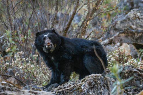 El oso andino tiene su hogar en territorios de Venezuela, Colombia, Ecuador, Perú y Bolivia. Foto de Rob Wallace/WCS.