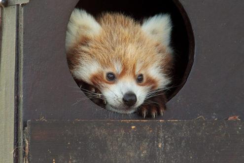 Hermanas red panda que nacieron en la Sociedad Zoológica de Londres (ZSL). Whipsnade Zoo. Se llaman Ying y Yang. Foto de: Whipsnade Zoo.