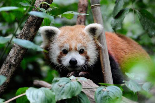 Un panda rojo llamado Biru en el zoológico de Central Park de la Sociedad de Conservación de Vida Salvaje (WCS). Foto de: Julie Larsen Maher © WCS.
