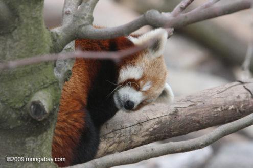 Animal lindo del día: Red Panda. Foto de Rhett A. Butler.
