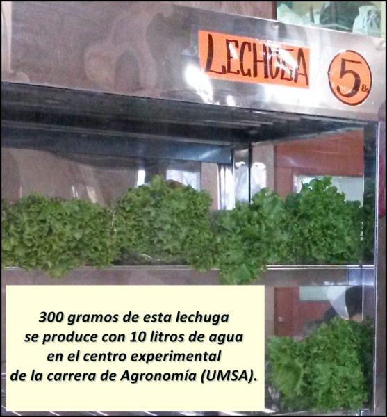 Producen 300 gramos de lechuga con 10 litros de agua, por debajo del promedio que está entre 30 a 40 litros. Foto: Cortesía de Facultad de Agronomía de la UMSA.