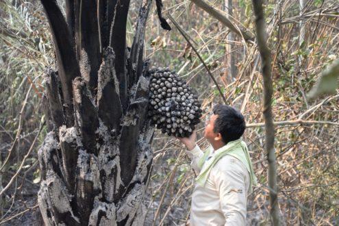 Habitantes de la zona se han visto perjudicados y han perdido sus cultivos de pan llevar, yuca y cacao. Foto de la Municipalidad distrital de Río Tambo