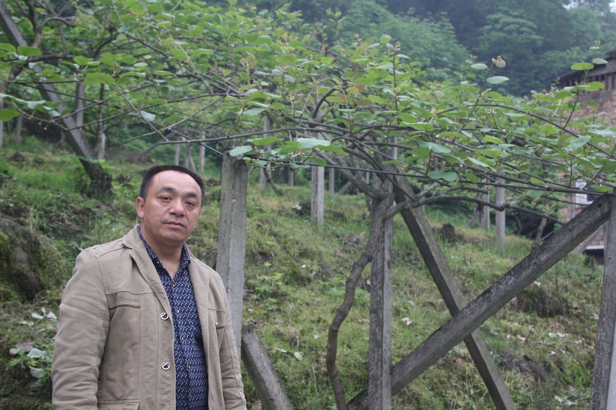 Zou Huagang, head of Lianhe village, poses in front of a local kiwi farm. Zou's family owns about three acres of kiwi farmland. Photo by Wang Yan.