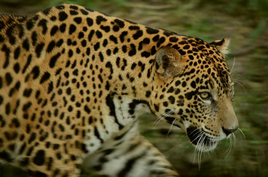 El jaguar que habita en América (Panthera onca) está categorizado como Vulnerable según la lista de la UICN. Foto: Eduardo Franco Berton.