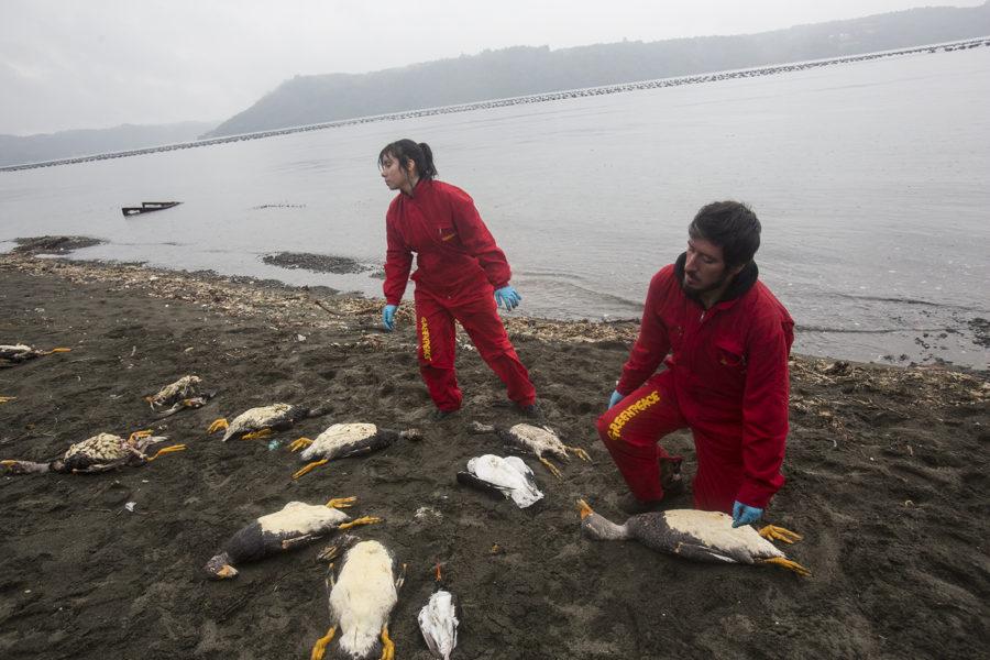 Imágenes de algunas de las especies que aparecieron muertas en la isla de Chiloé en mayo de 2016. Foto: Cortesía de Greenpeace.