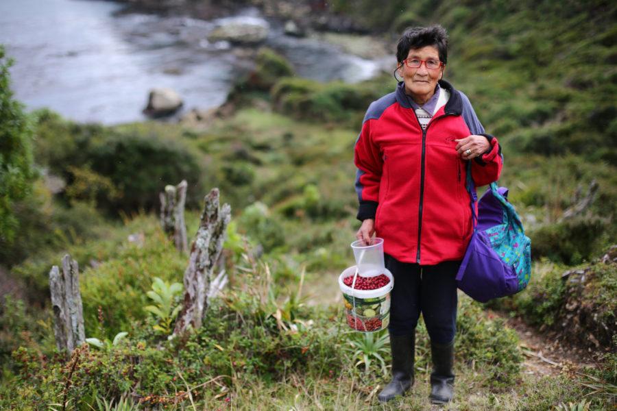 María Georgina Barría Altamirano recolecta murta para hacer mermeladas en la comuna de Ancud, Chiloé. María, se ha visto en la necesidad de reinventar su oficio, esto se debe a el desastre ambiental que trajo consigo la crisis salmonera. Foto: Andrés Pérez para R35R.