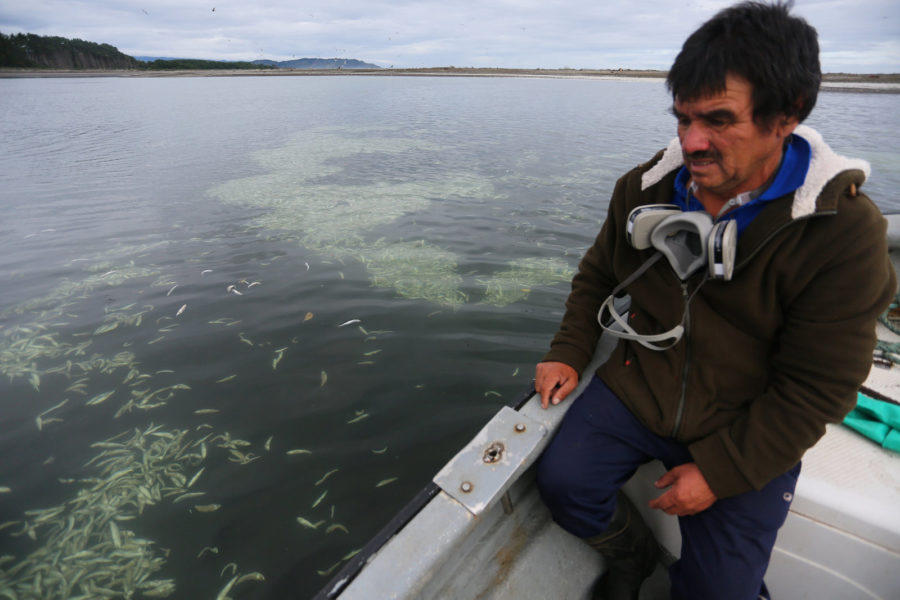 Aldo Ulloa, pescador artesanal, participa en la limpieza de sardinas varadas en la isla de Chiloé el 15 de Mayo 2016. Foto: Andrés Pérez para R35R.