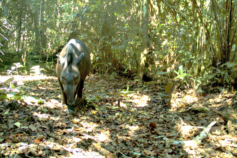 Fotografía de un tapir. Foto: Parque Nacional del Manu.