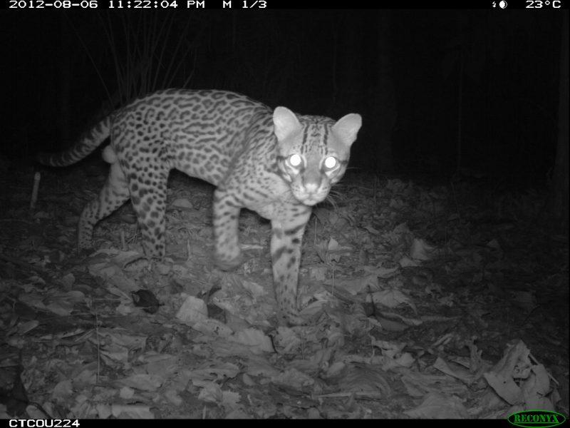 Imagen nocturna de un otorongo. Foto: Parque Nacional del Manu.
