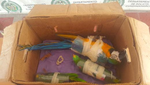 'Operación Artemisa', intervención policial en la que fueron detenidos los traficantes de fauna silvestre conocidos como 'Los pajareros'. Foto: Cortesía DIJIN Colombia.