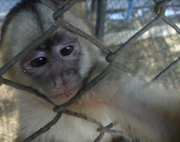 Mono en cautiverio. Fotografía de Claudia Gálvez-Durand Besnard/Serfor