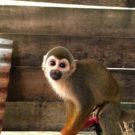 Mono ardilla víctima del tráfico de fauna silvestre. Foto: Dan Collyns.