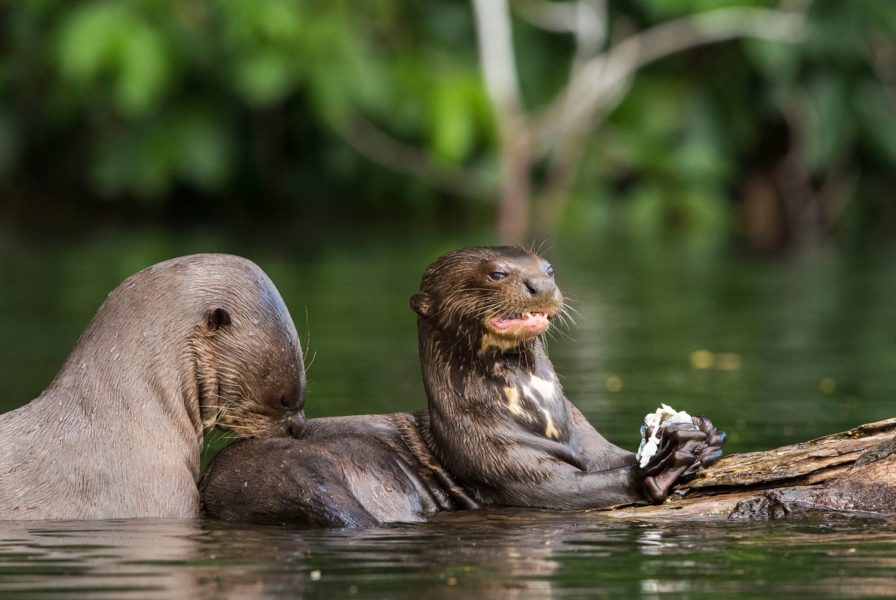 48 individuos fueron registrados en un tramo del río Heath, dentro del Parque Nacional Bahuaja Sonene. Daniel Resengren/Sociedad Zoológica de Fráncfort - Perú.