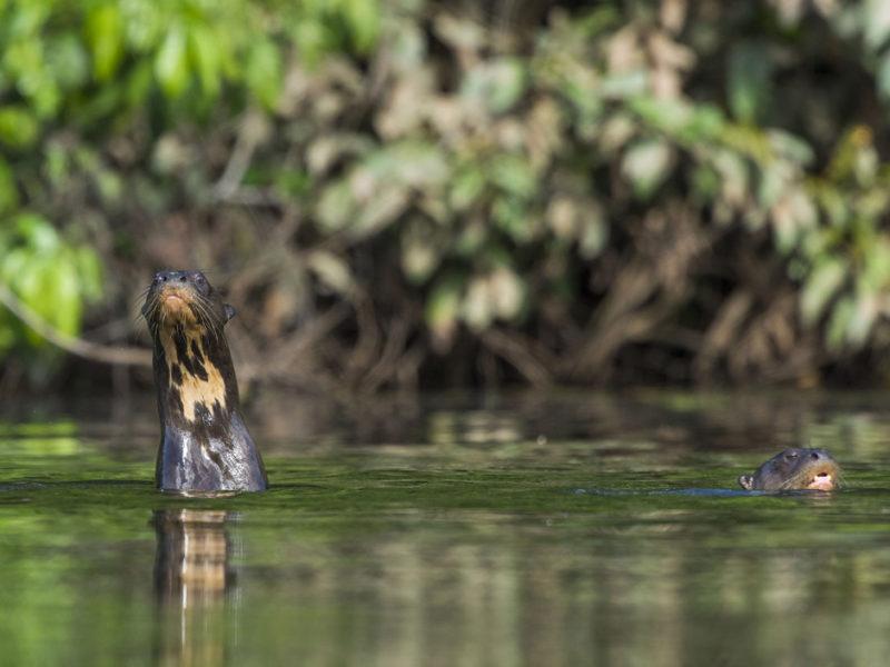 Los lobos de río son una especie que tiene una característica que hace más sencilla su identificación: la mancha gular. Todos los lobos de río tienen una mancha de este tipo en el cuello y es única. Foto: Daniel Resengren/Sociedad Zoológica de Fráncfort - Perú.