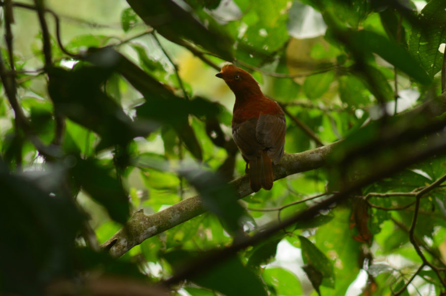 Se han observado 220 especies de aves hasta el momento, pero se estima que estas superan las 600 especies dentro de la reserva. Foto: Yntze Van Der Hoek.