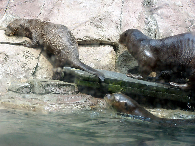 giant-otters