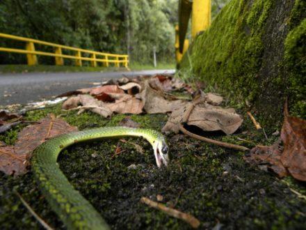 Serpiente Jueteadora (Chironius monticola) en la vía El Escobero en el municipio de Envigado, Antioquia. Foto de Tayra.