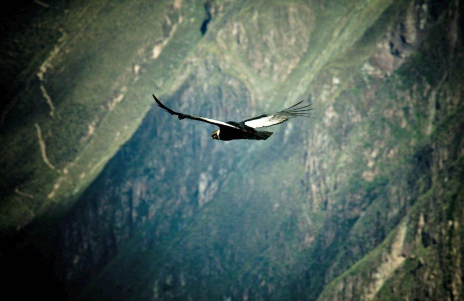 Cóndor andino. Foto: Serfor.