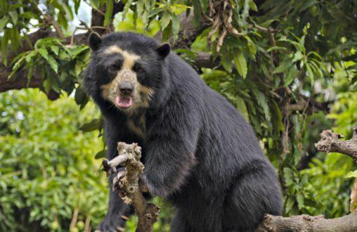 El oso de anteojos u oso andino. Foto: Serfor.
