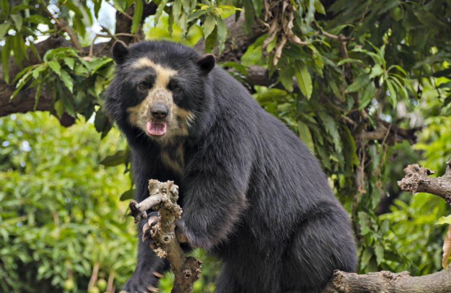 El oso andino. Foto: Serfor.