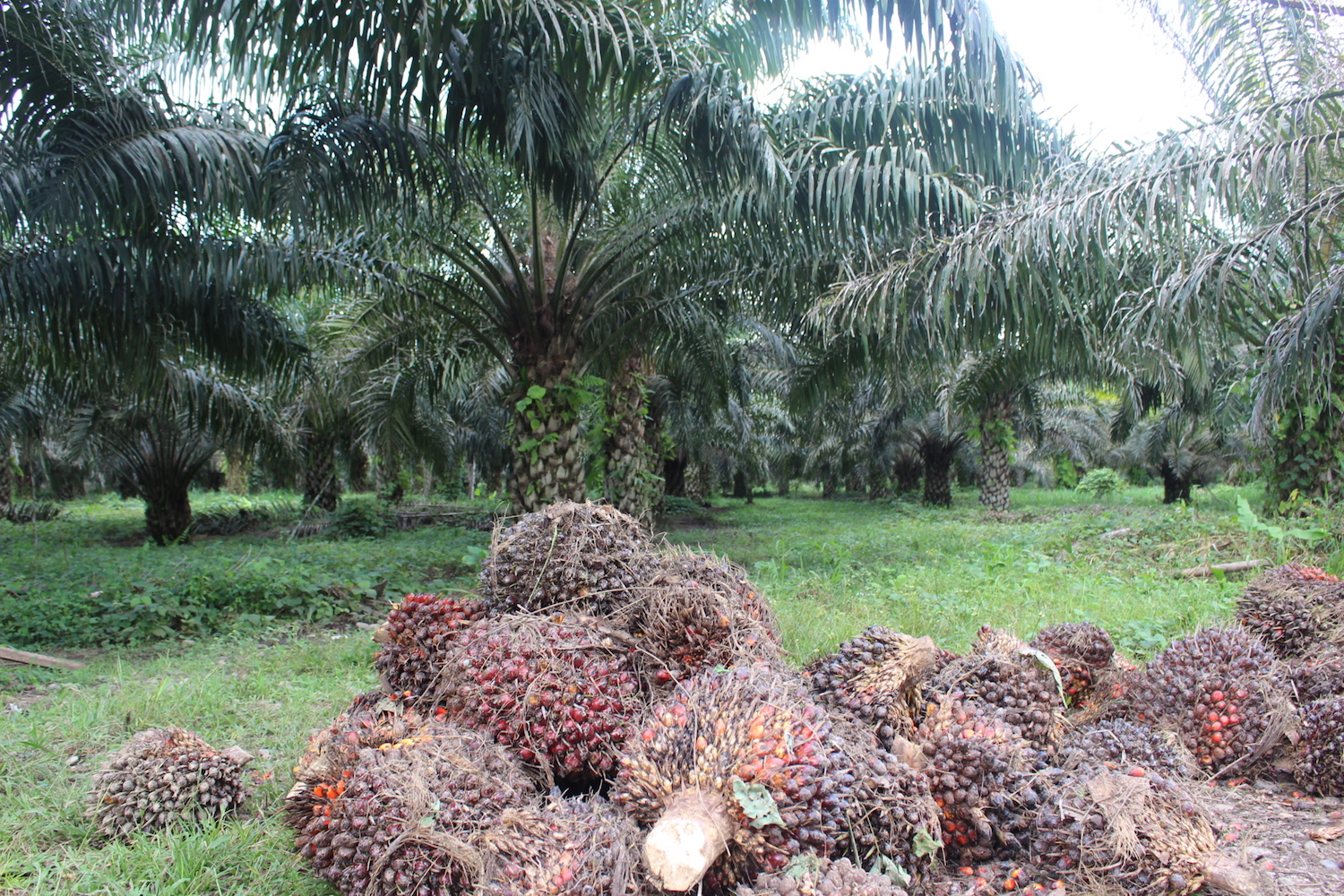 Harvested oil palm fruit awaits processing on the side of the road to Puerto Providencia. Photo by Daniela Aguilar